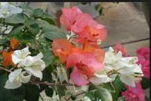 5 Tips Menanam Bunga Kertas Bougenville Berwarna Warni Bunga Pernikahan