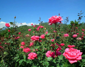 Desa Gunungsari yakni hanya satu desa ditempat Kecamatan Bumiaji yang  mempunyai potensi budidaya bunga potong mawar yang besar dengan cakupan  luas tempat ... feee0ff8d0